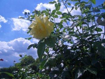 ... und eine Rose